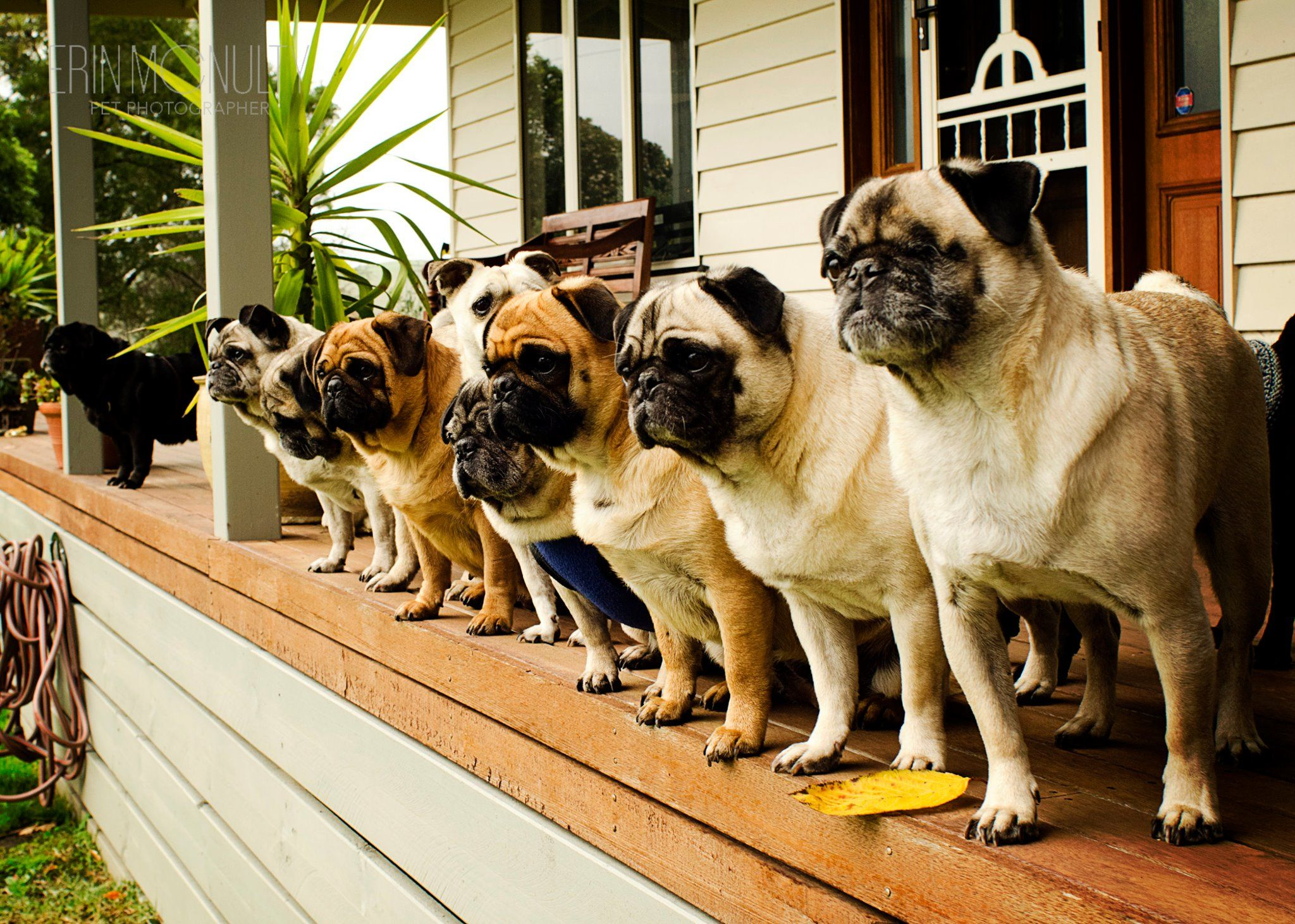 There S Heaven On Earth And It S Filled With Pugs Three Million