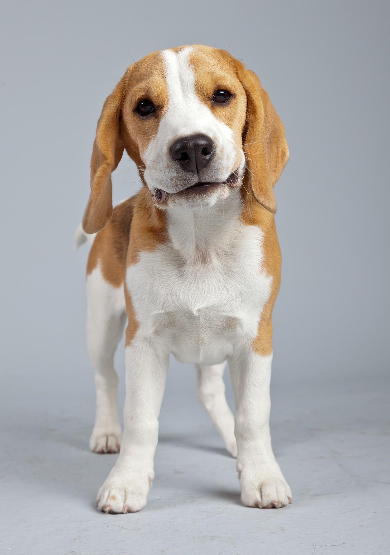 Lemon Beagle Beagle Puppy Lemon Beagle Beagle Dog