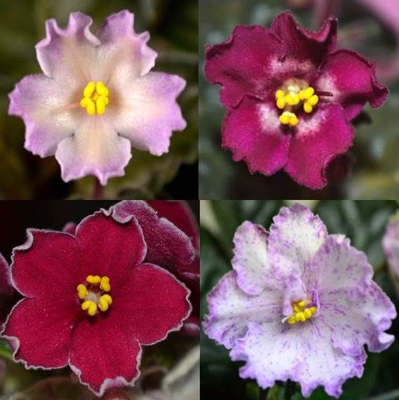 Types Of Flower Arrangement Shapes: What Are The Different Shapes Of African Violet Flowers
