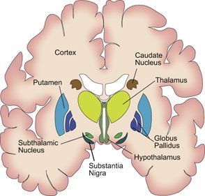 basal ganglia contribute to learning, but also certain disordersbasal ganglia contribute to learning, but also certain disorders dana foundation