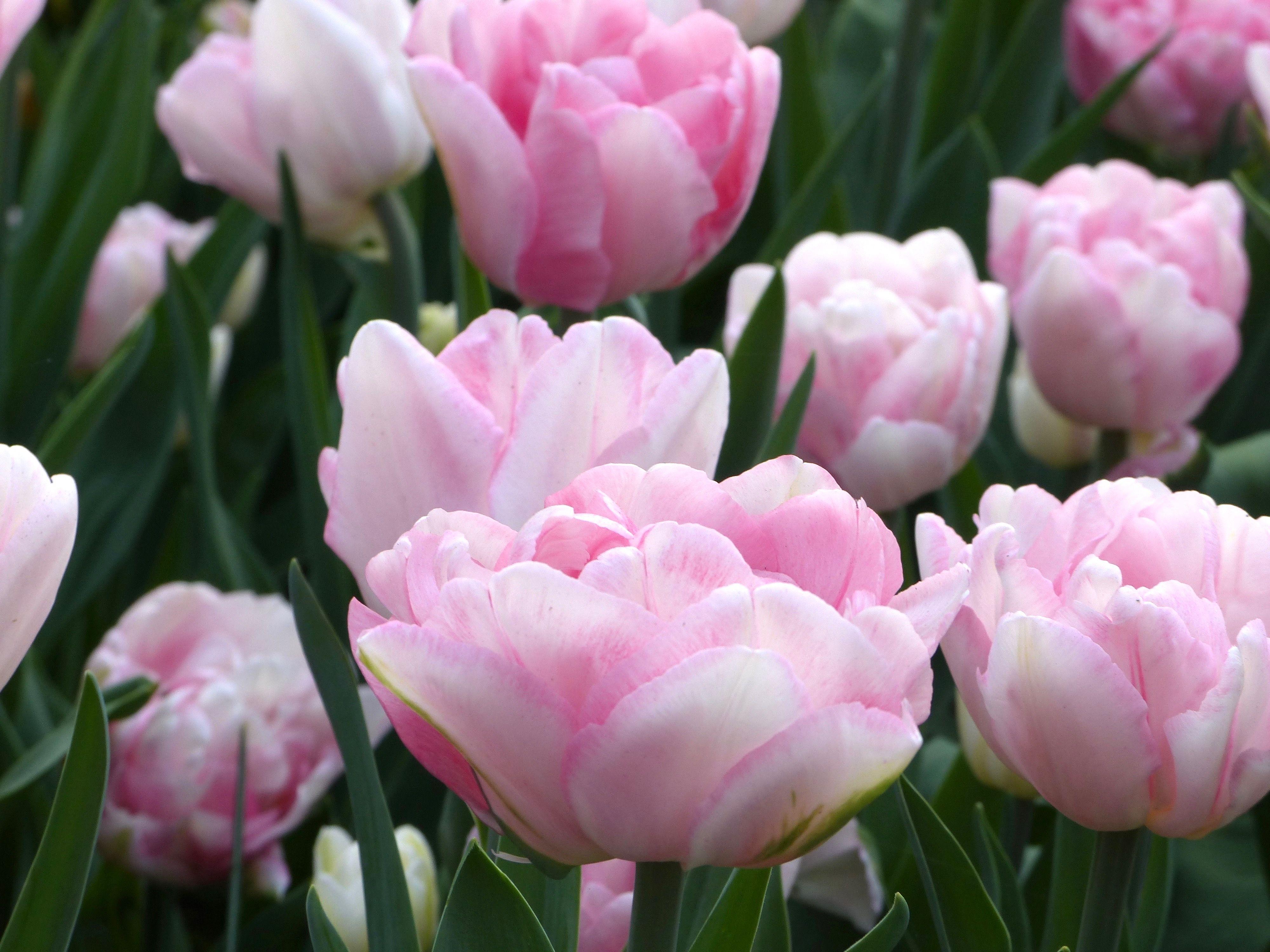 Diese Gefullte Fruhe Tulpe Tragt Den Namen Foxtrot Sie Wird Etwa 35 Cm Hoch Und Bluht Im April In Romantischen Rosa Fruhlingsgarten Staudengartnerei Tulpen