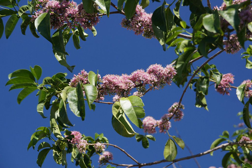 Pink Flowered Doughwood Melicope Elleryana An Australian Tree Australian Trees Flowering Trees Trees And Shrubs