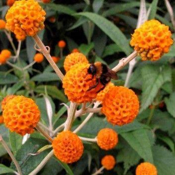 Buddleja Globosa Orange Ball Tree Buddleia Vlinderstruik Tuin Inspiratie Tuin