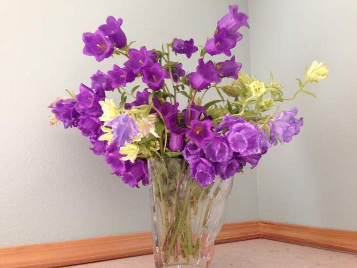 Campanula Medium Campanula Long Vases Flowers
