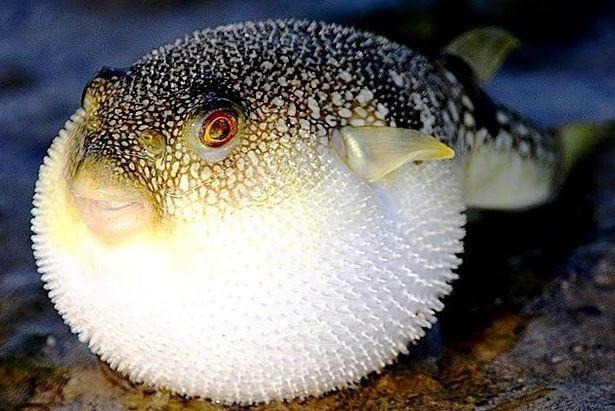 Puffer Fish Dangerous Animals Ocean Animals Ocean Creatures