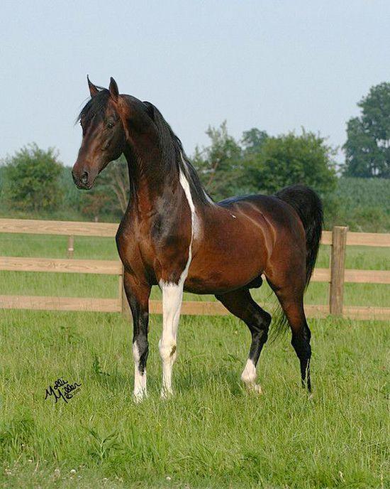Saddlebred bay Tobiano stallion.