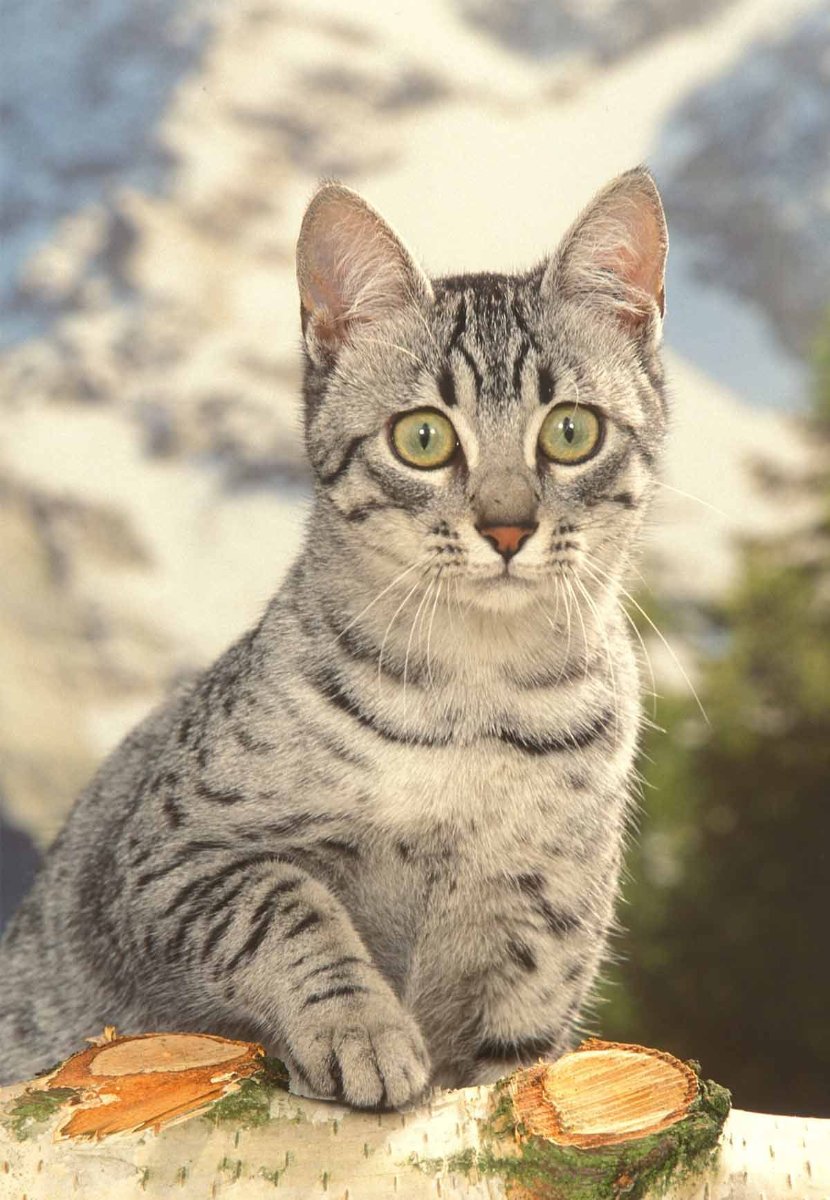 Egyptian Mau Kitten Sitting Near Window Egyptian Maus Cat Are A Small To Medium Sized Short Haired Cat Breed Along With Egyptian Mau Cats And Kittens Cats