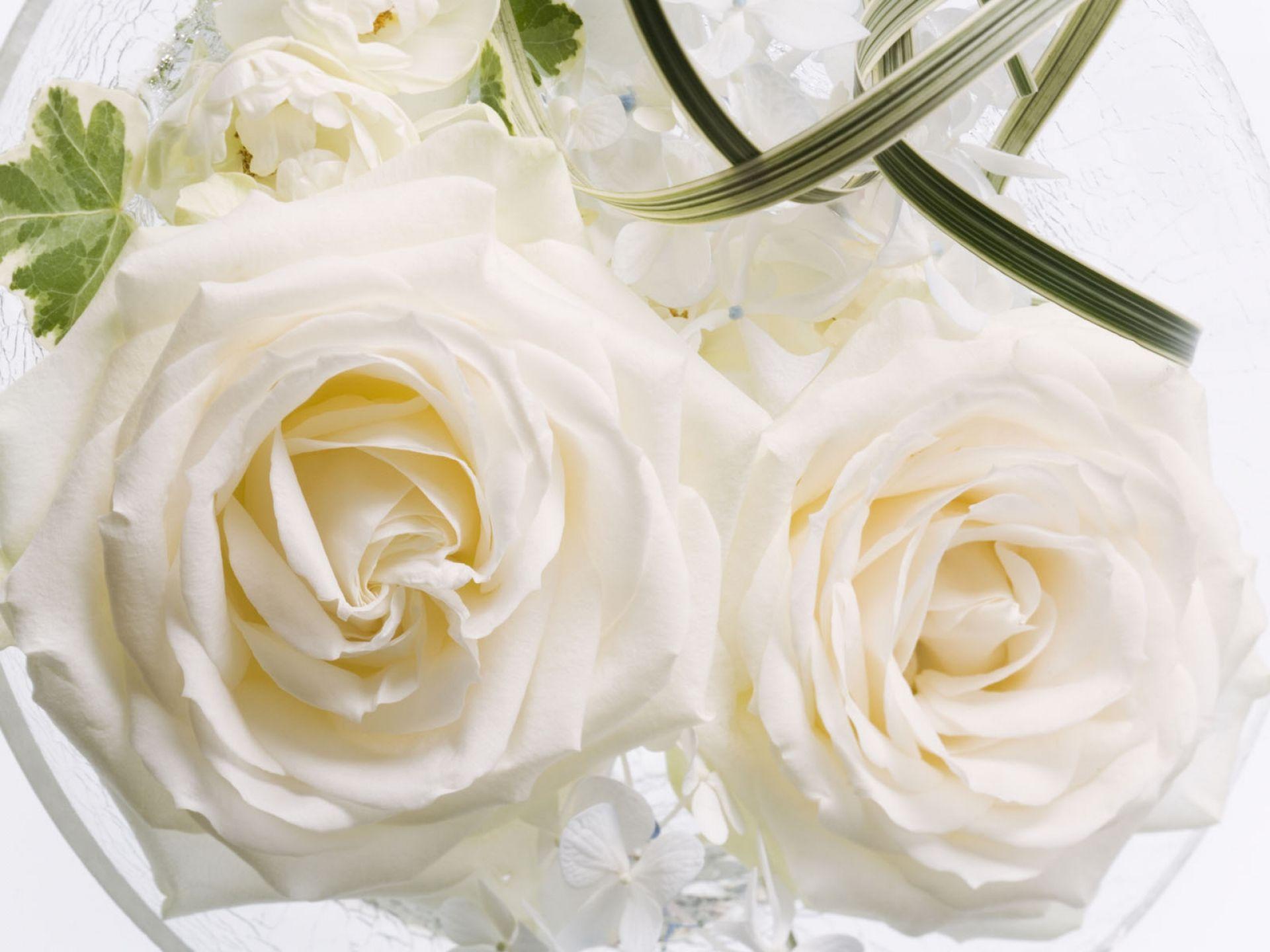 наличии белые розы обои картинки зуева известная советская