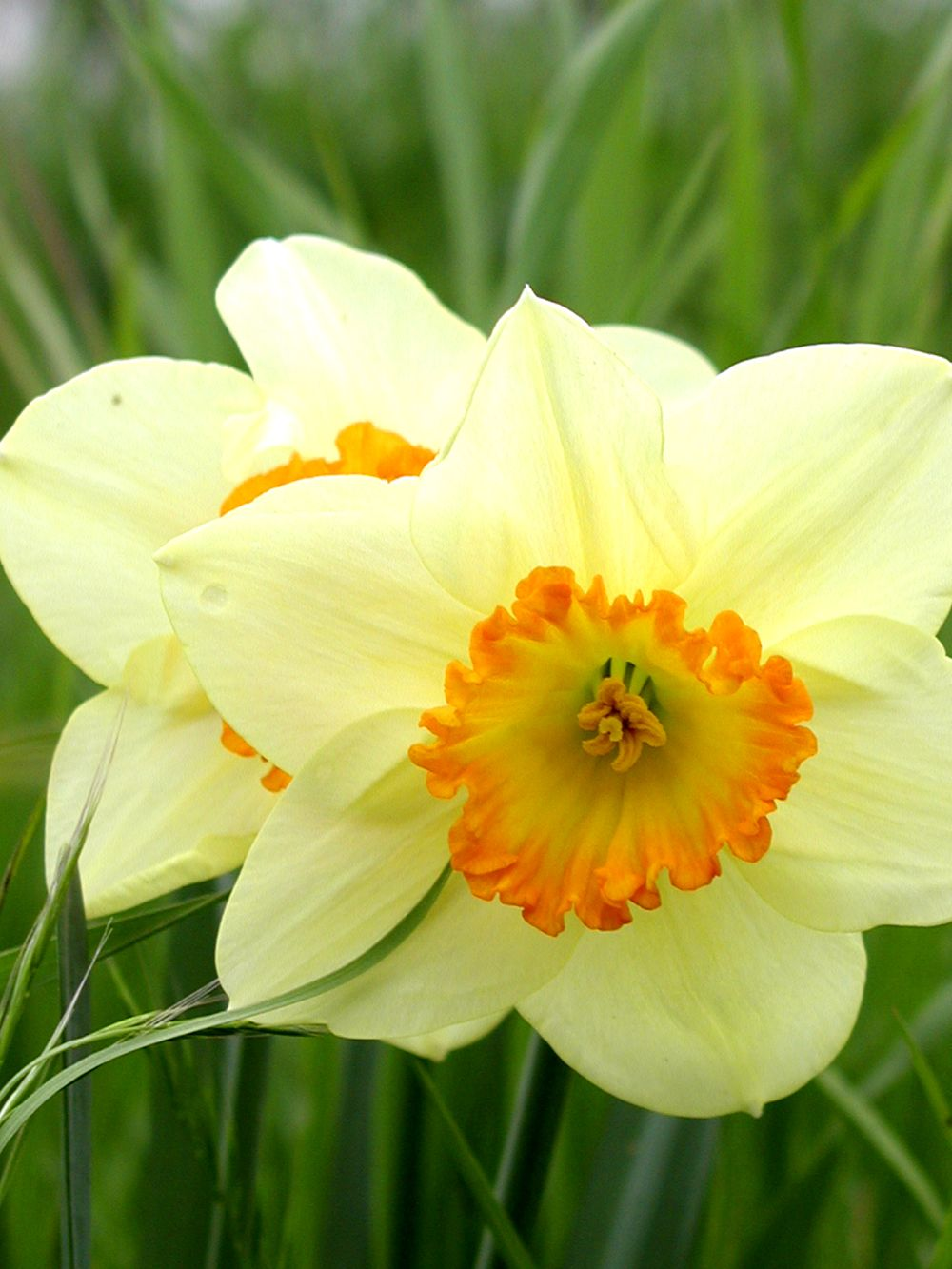 The best time to plant daffodil bulbs is in September ...