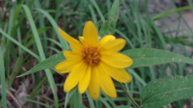 A bright yellow flower that I found in the wild.