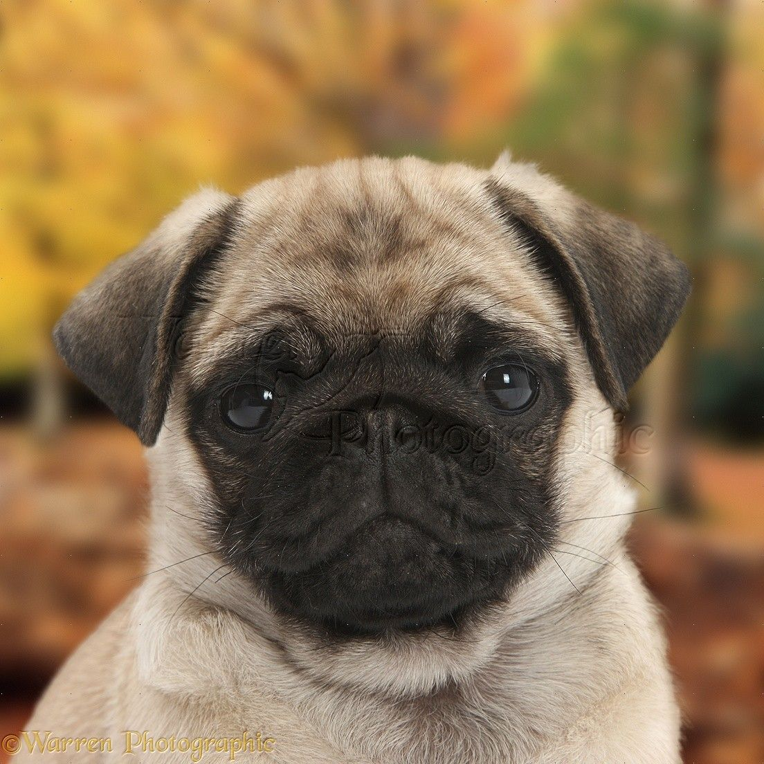 8 Week Old Pug Puppy Pictures Pugs Cute Pug Puppies Cute Pugs