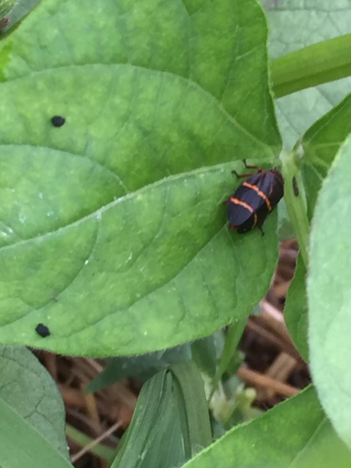 Pin On North Carolina Insects