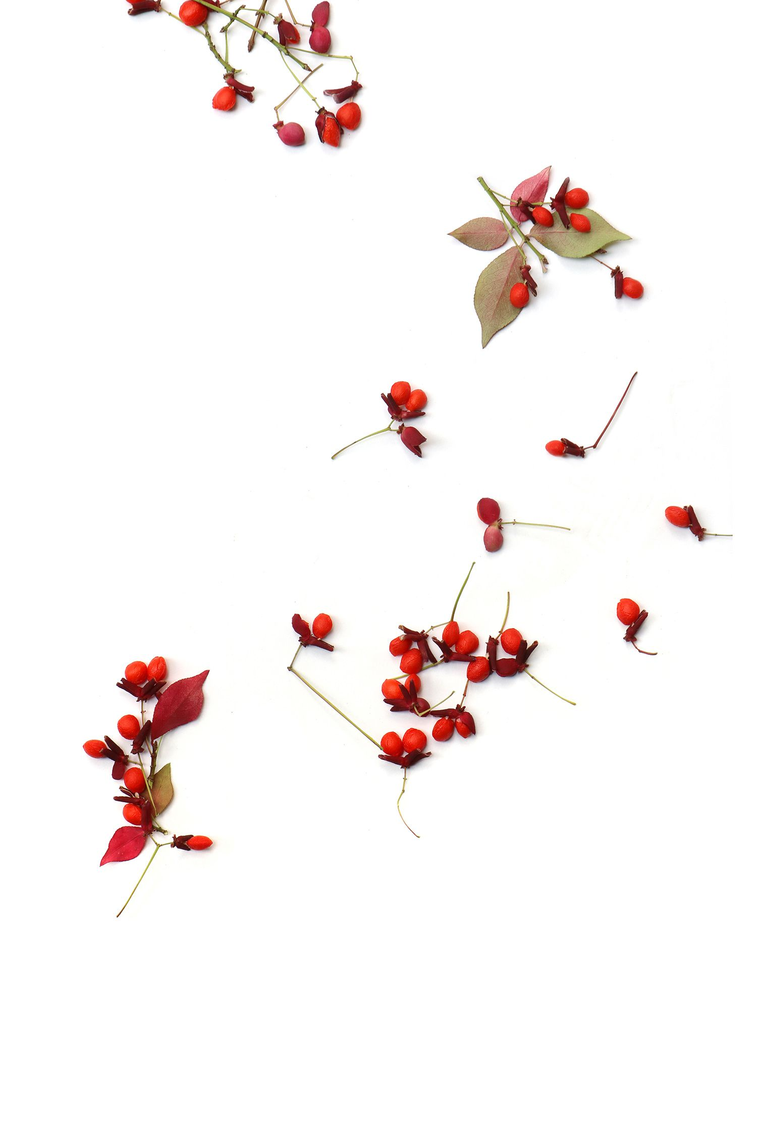 burning bush seeds (mary jo hoffman) | STILL on white in