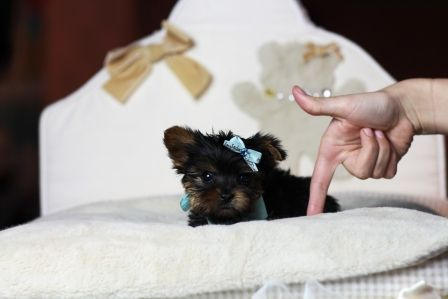 3 3 3 Pocketbook Yorkie Gordon For Sale 3 3 3 He Will Not Last Call Now 954 353 7864 Www Teacuppuppies Teacup Yorkie For Sale Teacup Yorkie Teacup Puppies
