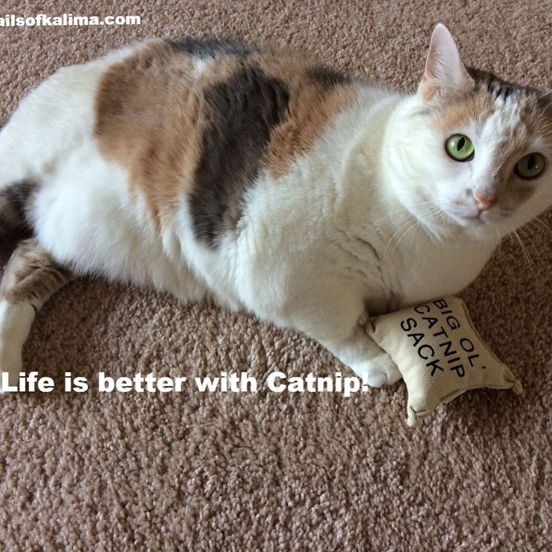 Want To Learn More About Catnip Here Is Everything You Ever Wanted To Know Https Www Tailsofkalima Com Catnip Therapy Cat Cute Cats Photos Cute Cat Quotes
