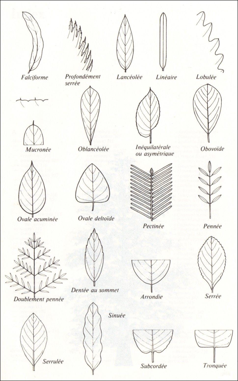 Célèbre La forme des feuilles | Clé de détermination, Détermination et La clé YK92