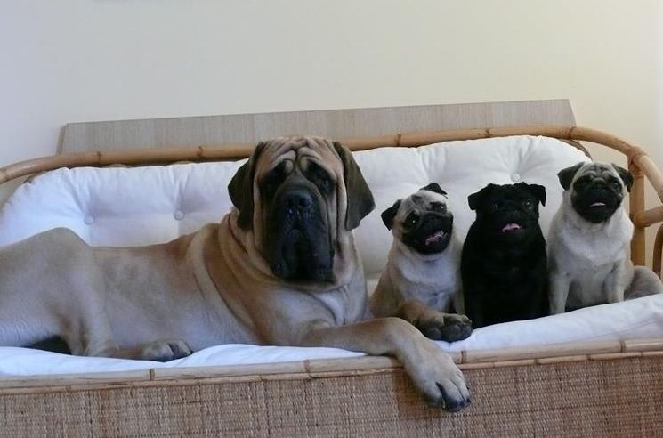 One Of These Things Is Not Like The Others Cute Pugs Pugs
