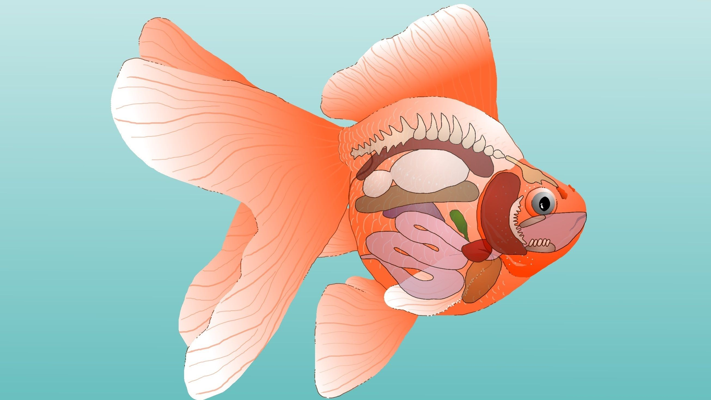 Goldfish Anatomy - External & Internal | Fish Tank and Ponds ...