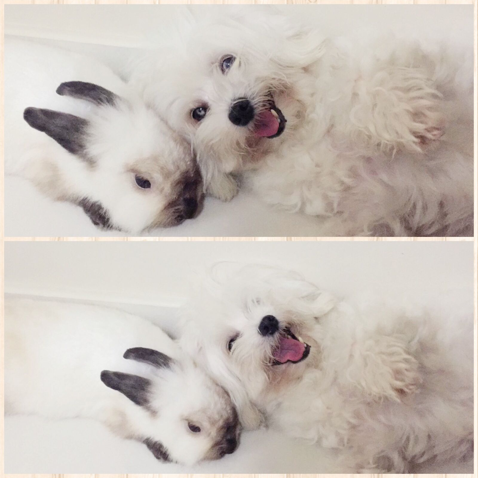 Just Wanna Be With You Rabbit Maltese Bunny Dog Love