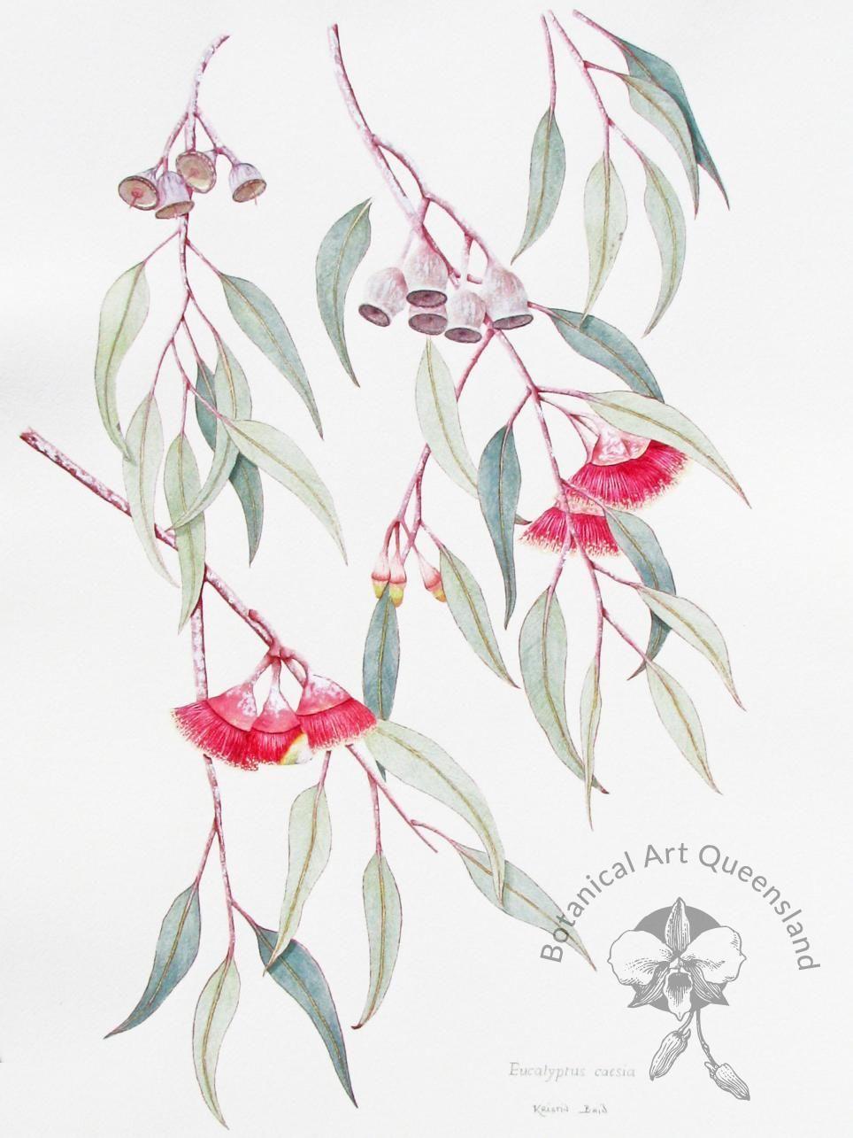 Kristin Bain Eucalyptus Caesia Watercolour And Gouache Basq