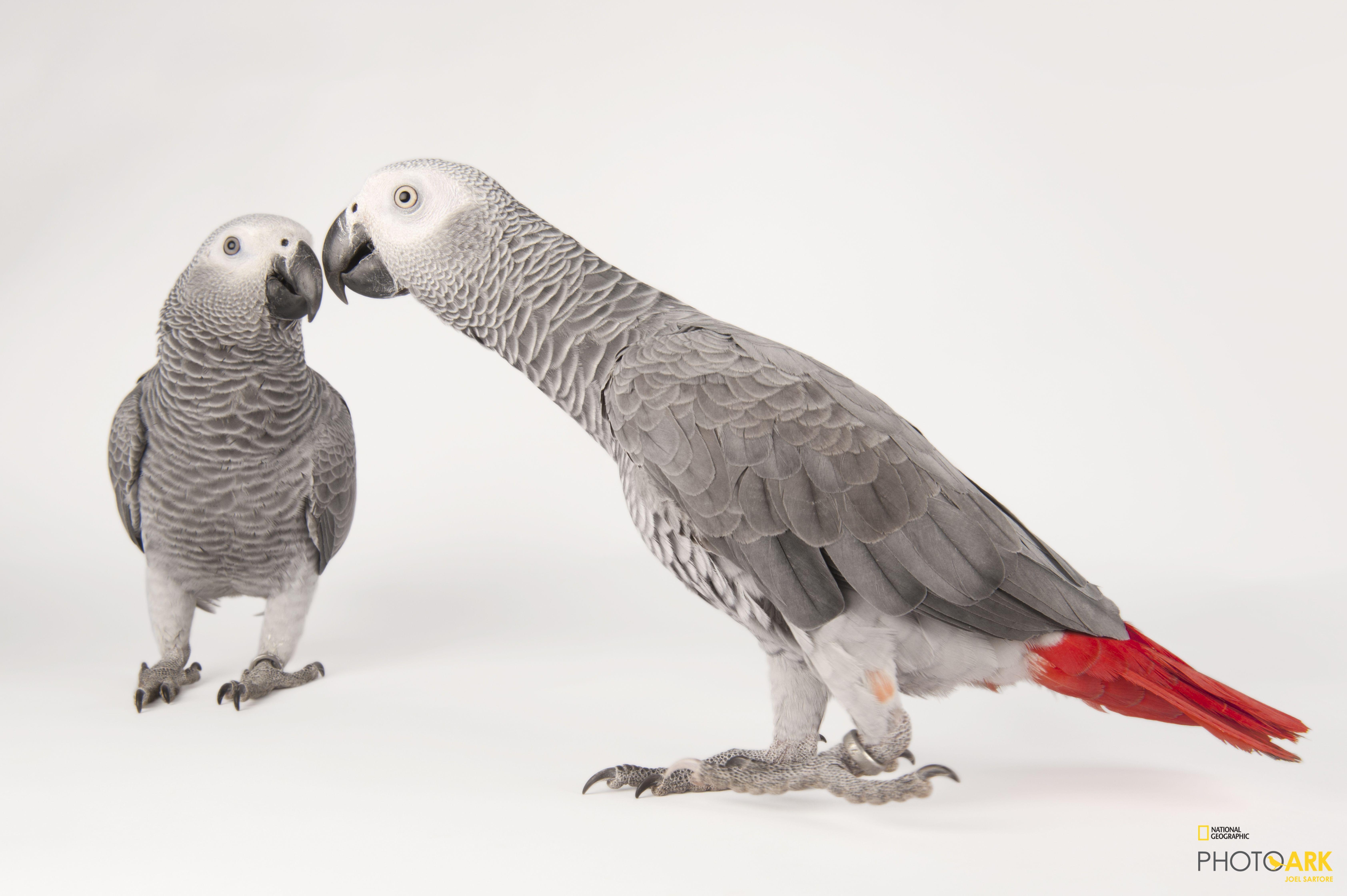 Photo Ark Home Endangered African Grey Parrots National