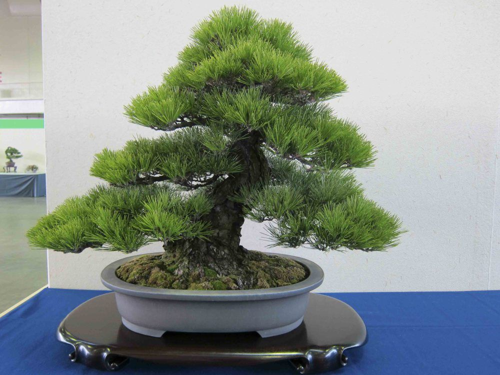 Black Pine Bonsai Tree