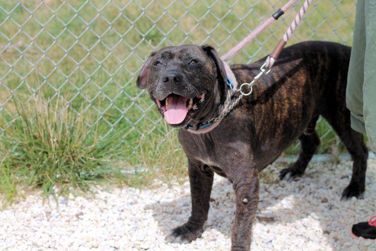 The Police Rescue A Puppy Abandoned In A Car Chase Pitbull Mastiff Pitbull Puppies Pitbull Mastiff Mix