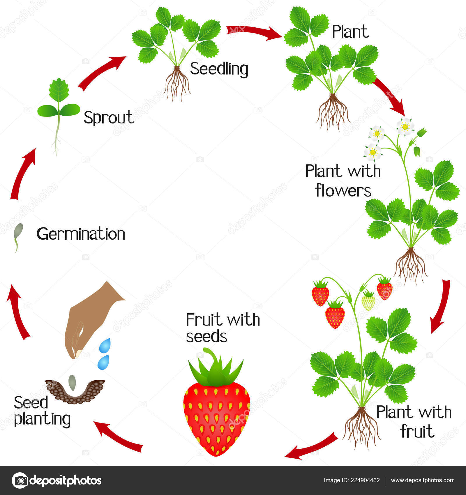 Life Cycle Strawberry Plant White Cycle Life Plant