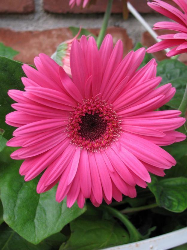 Pretty Pink Gerb Common House Plants Plants House Plants