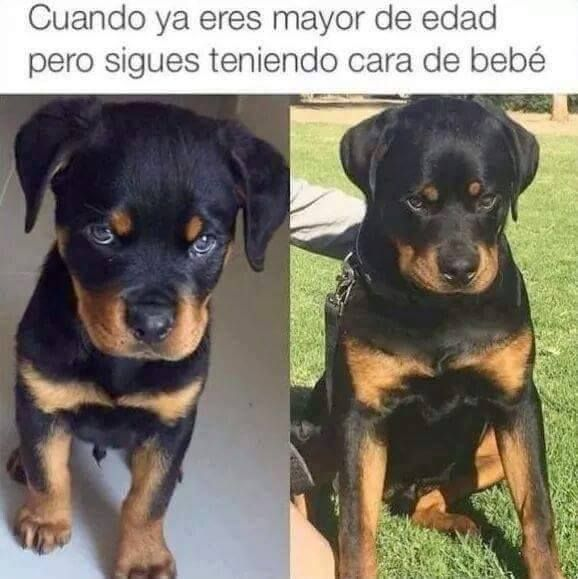 Memes Para Whatsapp De Risa 4 Memes De Perros Chistosos Memes Perros Perros Graciosos