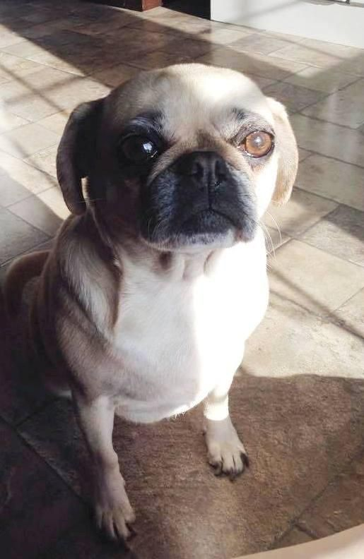 Meet Patsy Sweet Sweet Girl A Petfinder Adoptable Pug Dog