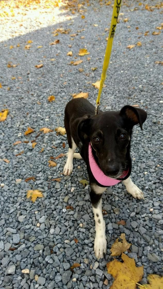 Adopt Precious Pippa On Puppies Animals Dachshund