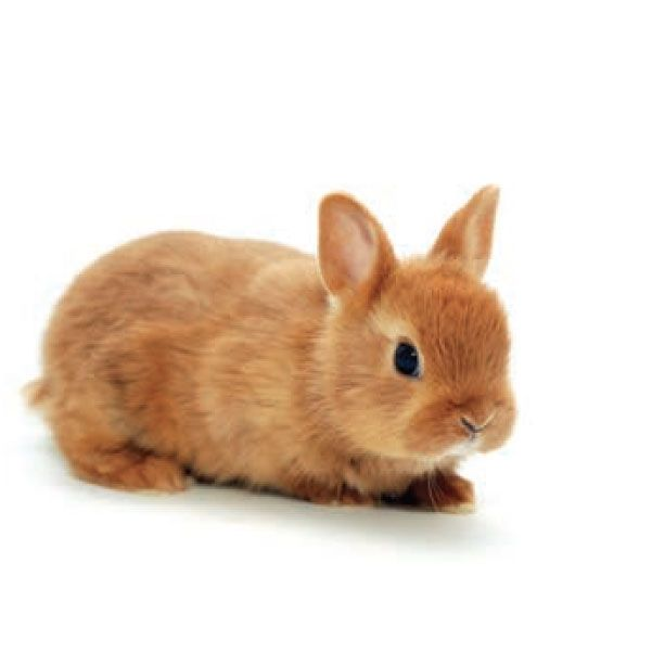 Conejo enano verdecora conejos conejo enano - Verdecora mascotas ...