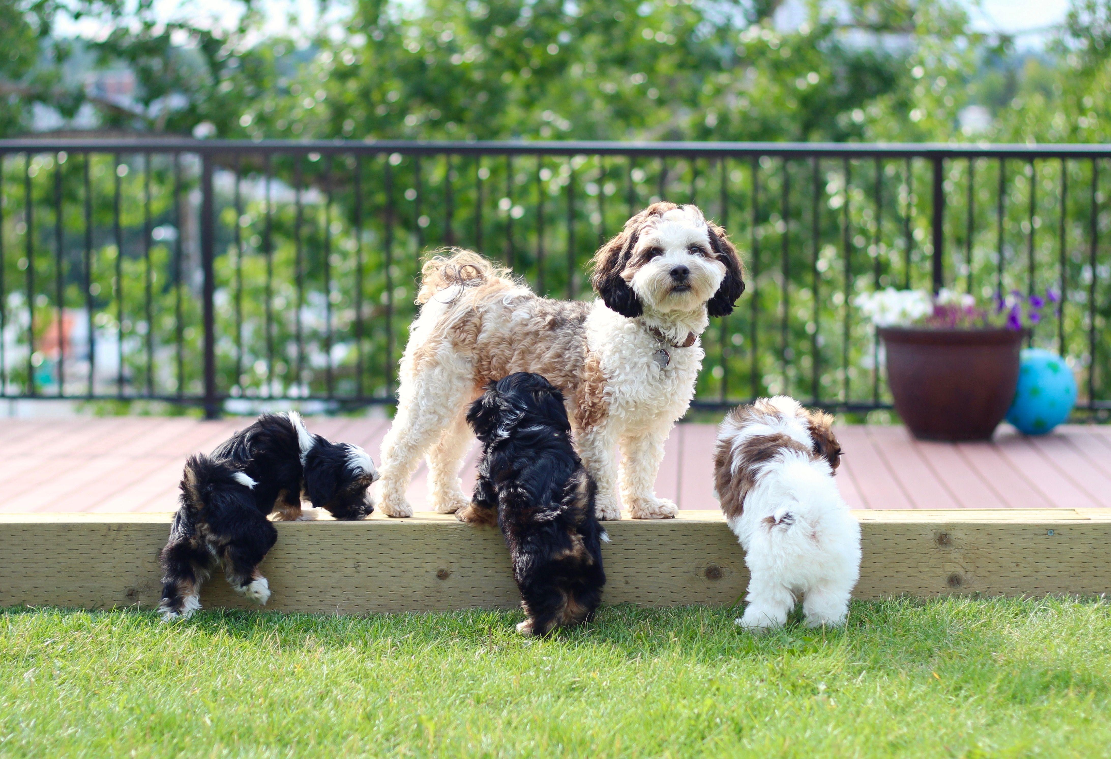 Shichon Zuchon Puppies Shih Tzu Puppy Puppies Zuchon Puppies For Sale