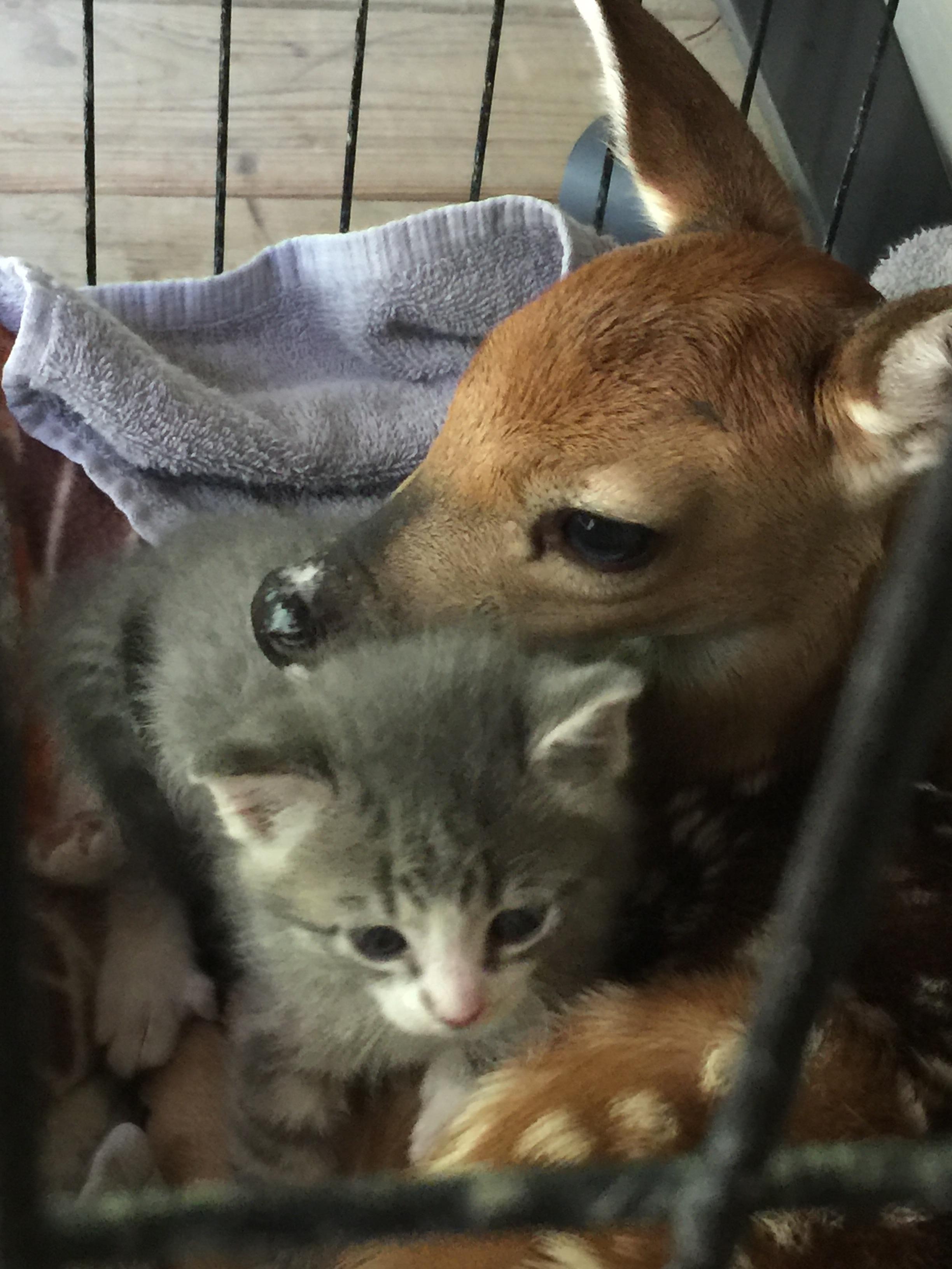 Baby Deer And Kitten Cuddles Https Ift Tt 2kxtp05 Cute Puppies Cats Animals Kitten Cuddle Baby Deer Baby Kittens