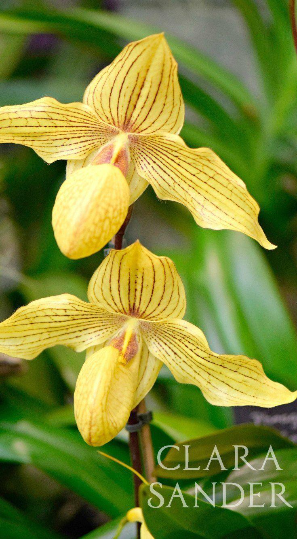 Paphiopedilum Floriferous Garden Paphiopedilum Orchid