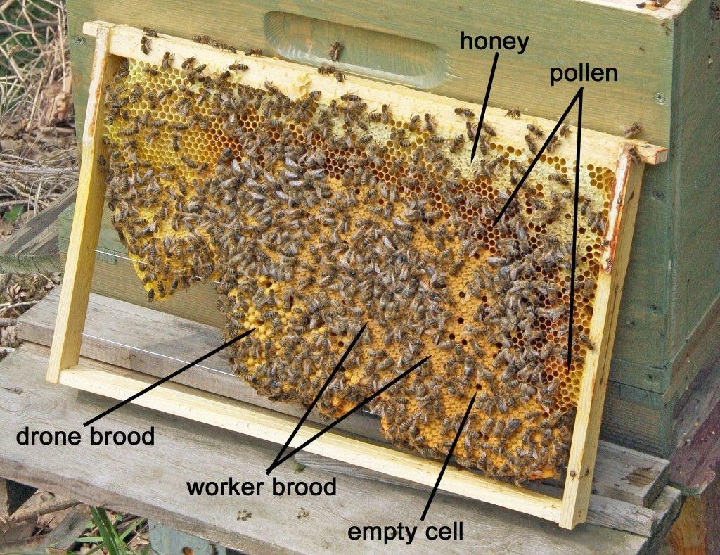 what is a brood pattern bienen honig und imker. Black Bedroom Furniture Sets. Home Design Ideas