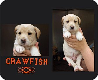 Garden City Mi Shar Pei Labrador Retriever Mix Meet Crawfish A Puppy For Adoption Http Www Adoptapet Com Pet 1 Puppy Adoption Pets Garden City Michigan