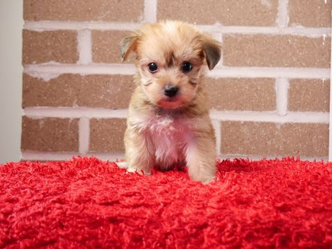 MalteseMaltipoo Mix puppy for sale in KENT, OH. ADN51460
