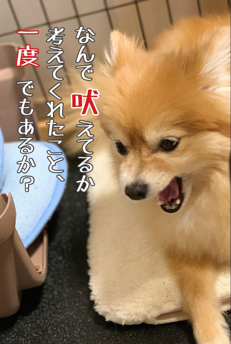 犬が吠えるには理由がある ポメラニアン 犬 ポメラニアン かわいい