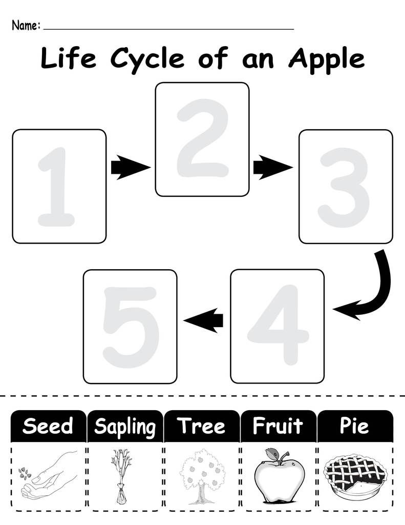 Life Cycle of an Apple\