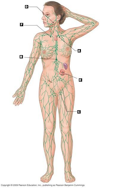 Lymphatic System Diagram Bing Images Lymphatic System