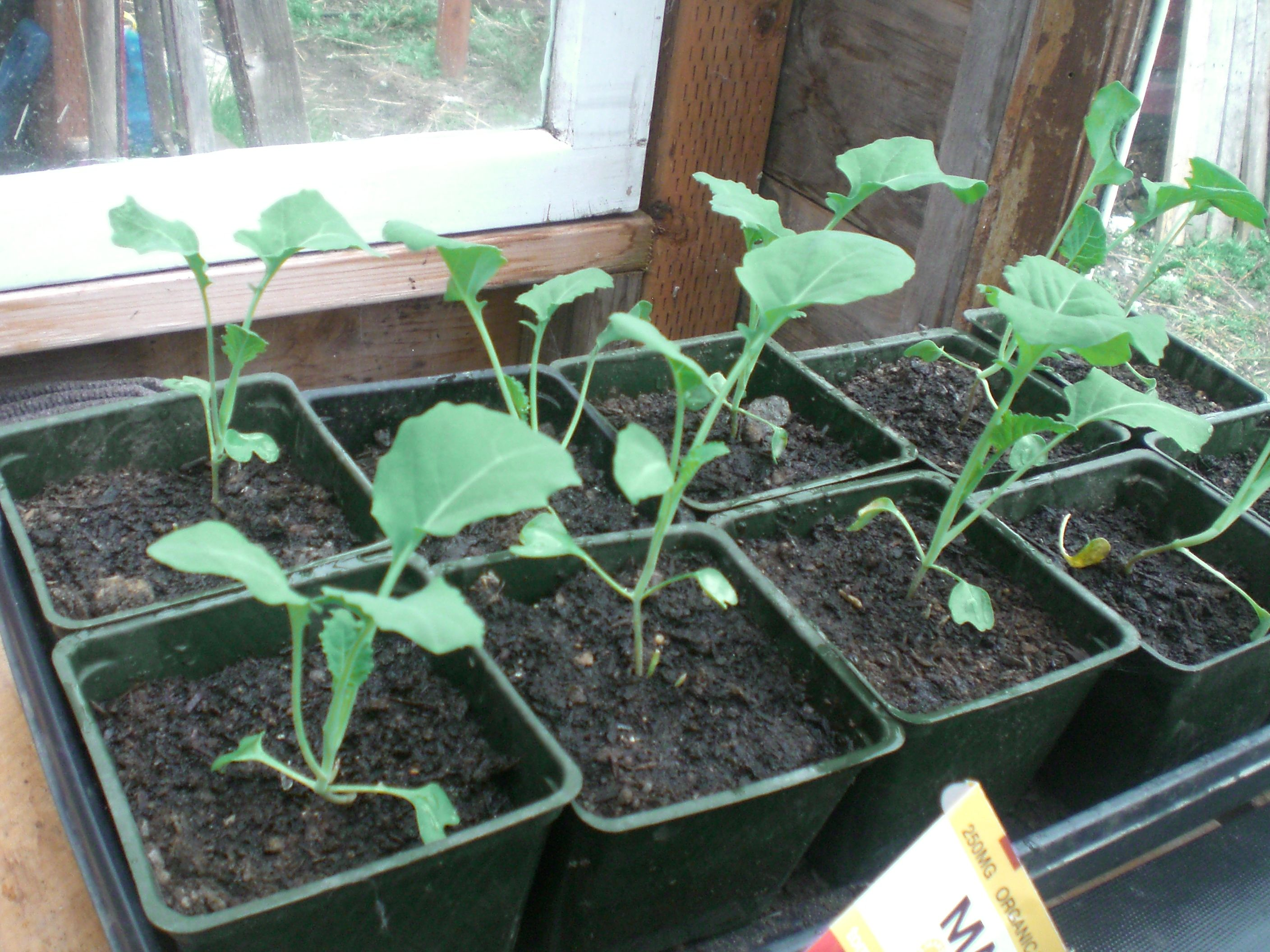 Spring broccoli seedlings.