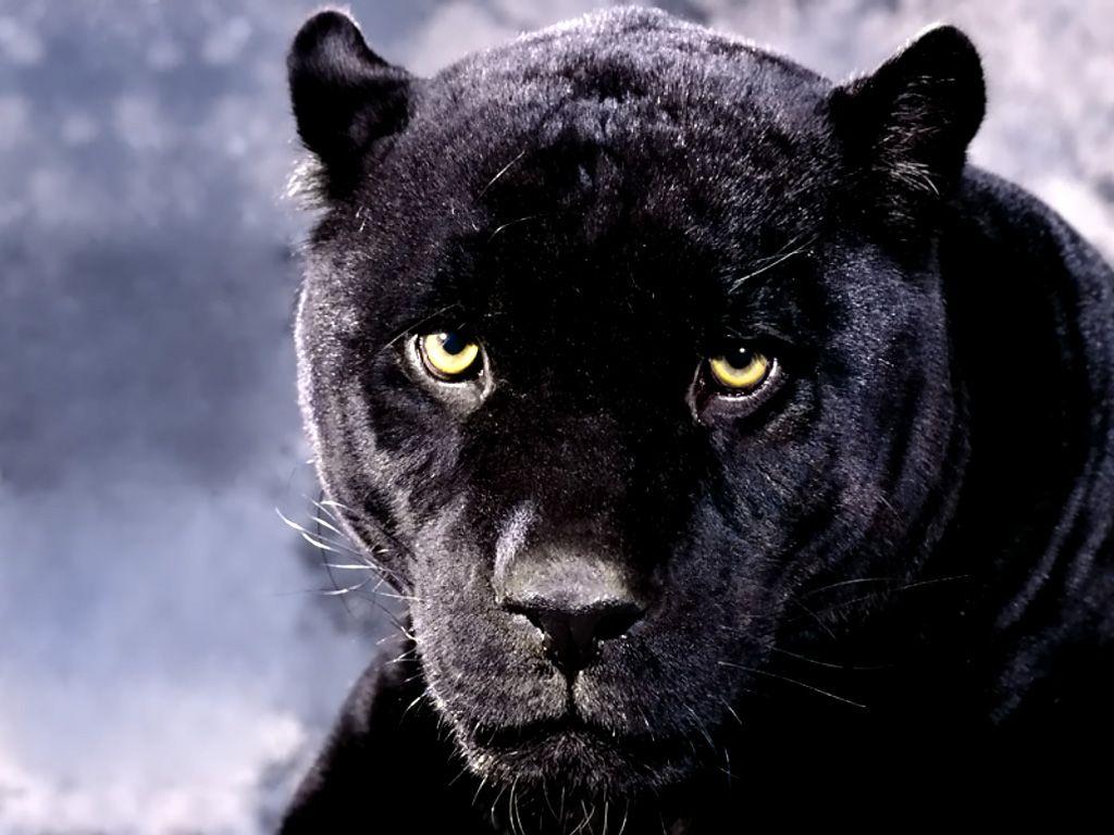 Extrêmement Panthère Noir / Black Panther | Félins | Pinterest | Panthère, La  VR32
