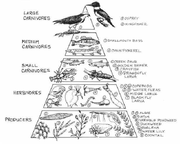 ocean food pyramid - 617×496