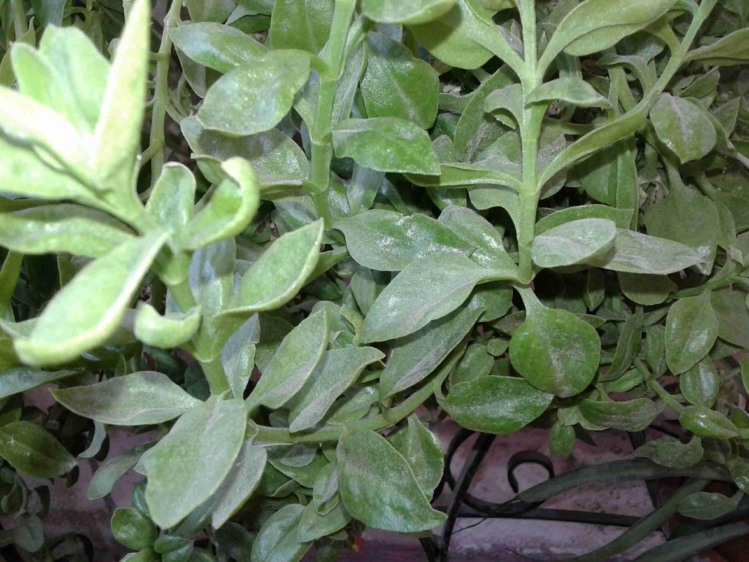 نبتة قطر الندى او تراجي العروس كيف يمكننا زراعتها والاكثار منها زاكي Plants Vegetables Spinach