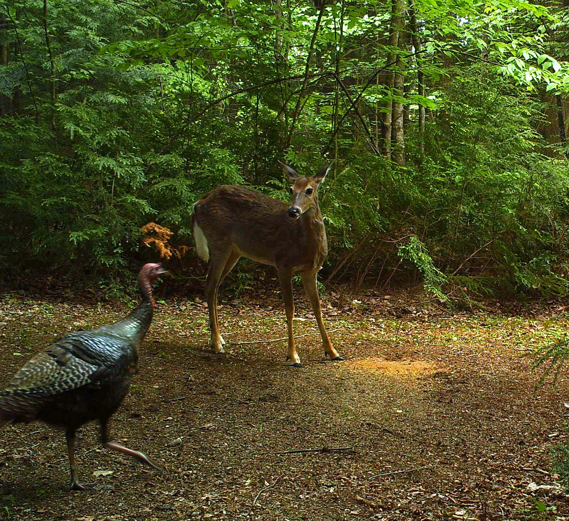 Deer And Turkeys Playing Nice