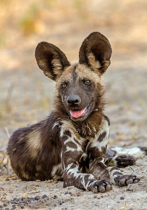 African Painted Dog Via Tumblr Amazing Wild Africa Wild Dogs