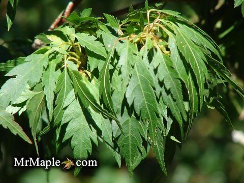 Acer palmatum 'Hagoromo' Angel Feather Japanese Maple #japanesemaple