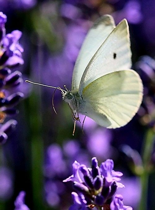 Beautiful Picture White Butterfly